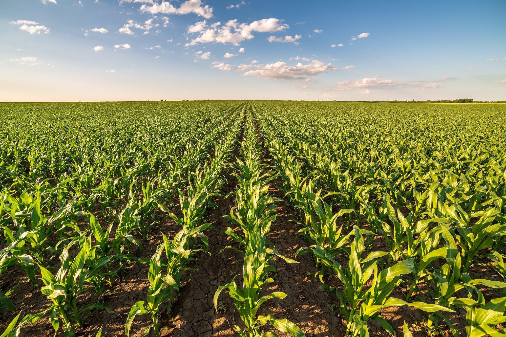 Por el maíz: seis definiciones claves en medio de una negociación con el Gobierno
