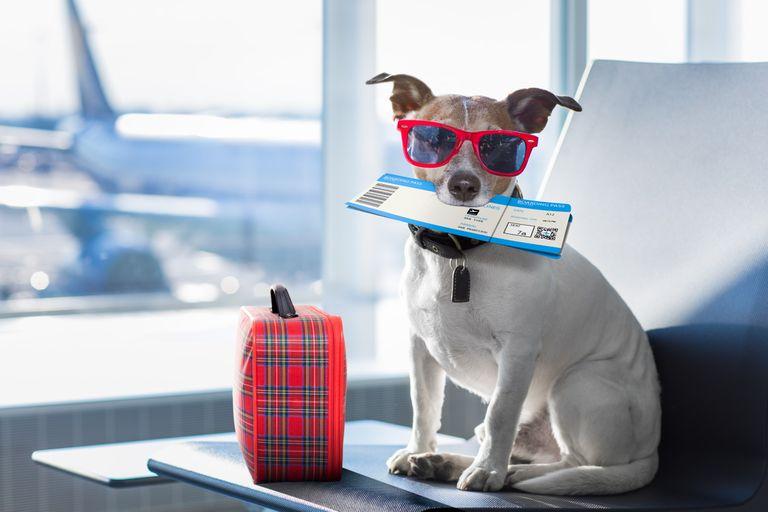 vuelos-pet-friendly:-cuanto-cuesta,-que-se-necesita-y-que-animales-pueden-subir-a-un-avion